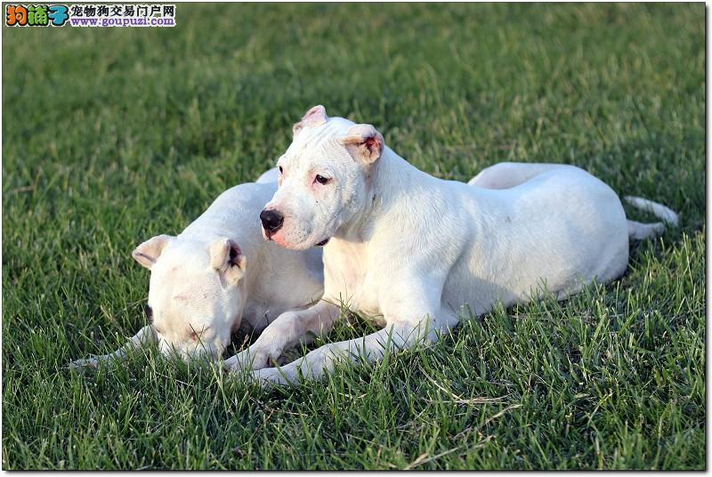 纯种犬繁殖基地售高品质杜高犬