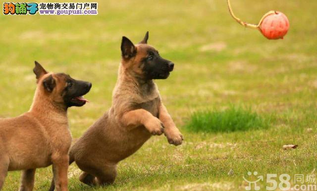 纯种护院高手中华狼青家庭守护犬