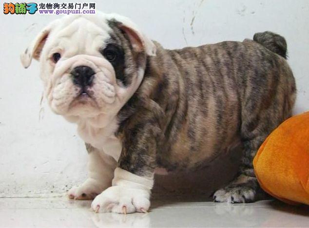 北京英国斗牛犬犬舍英国斗牛犬价格英国斗牛犬照片