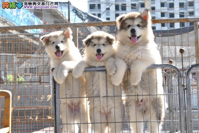顶尖冠军级红色黑色灰色阿拉斯加雪橇犬幼犬出售