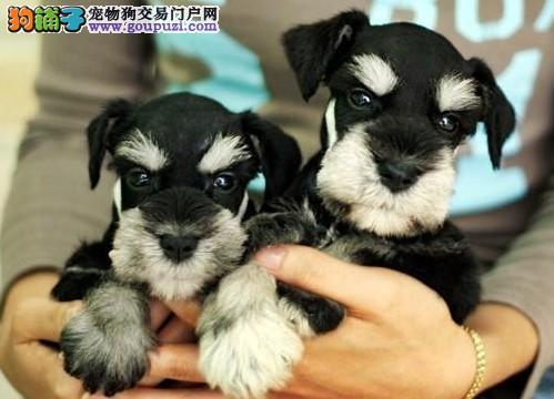皇室名犬出售雪纳瑞犬 品种优良 价格合理 诚信服务