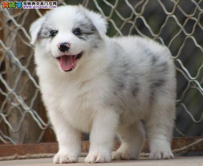 低价出售边境牧羊犬 边境牧羊犬多少钱 最聪明的狗