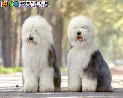 出售纯种健康的天津古代牧羊犬幼犬赛级品质血统保障