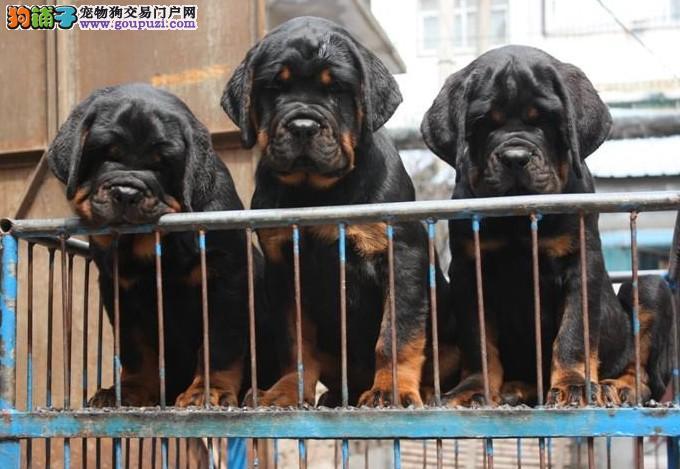 专业繁殖德系大头罗威纳犬,极品幼犬待售/赛级罗威纳