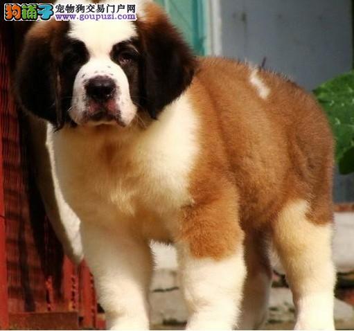 圣伯纳幼犬出售中骨架大 品相完美 公母均有