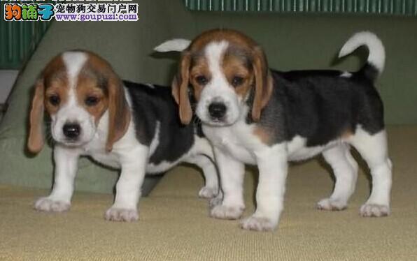 出售比格幼犬 专业繁殖比格犬 价格公道 品种优良
