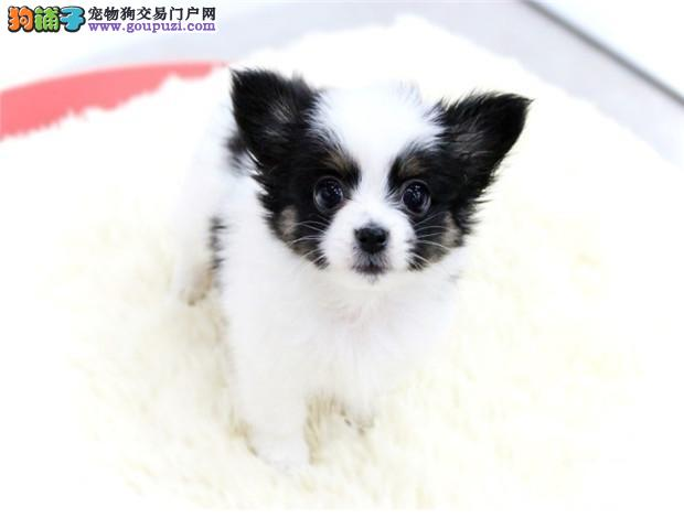 蝴蝶犬家养 幼犬纯种黄白蝴蝶犬乖巧可爱 疫苗已做