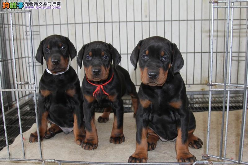 大型犬舍低价热卖极品杜宾犬送用品送狗粮