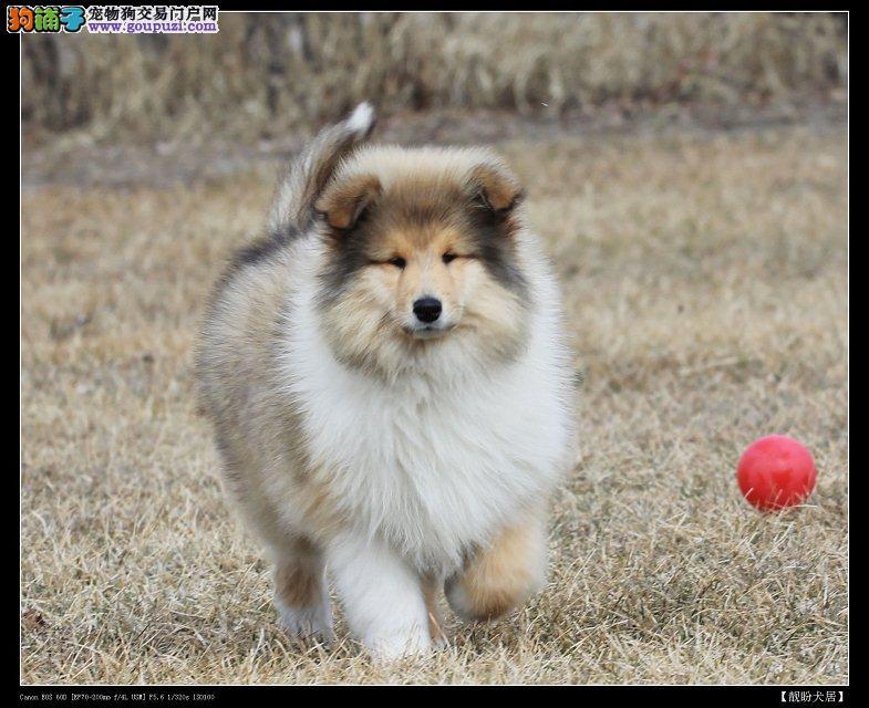 精品苏牧幼犬一对一视频服务买着放心办理血统证书