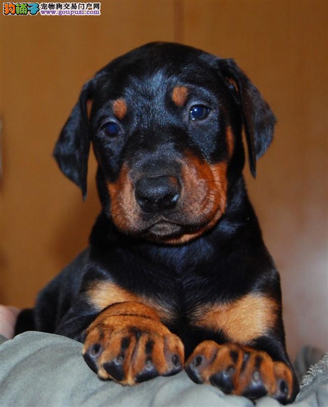 出售纯种健康的九江杜宾犬幼犬品质一流三包终身协议