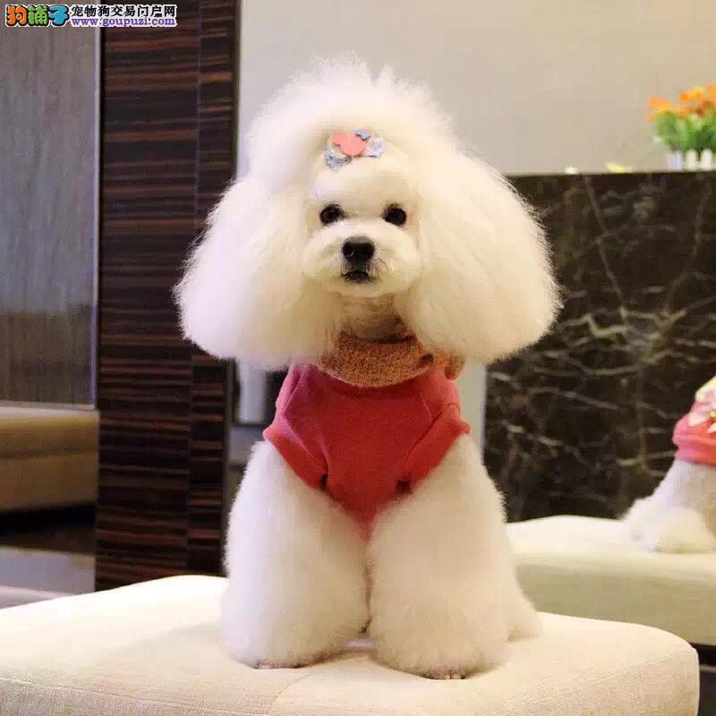 出售泰迪犬 保健康 保品质 有喜欢的联系