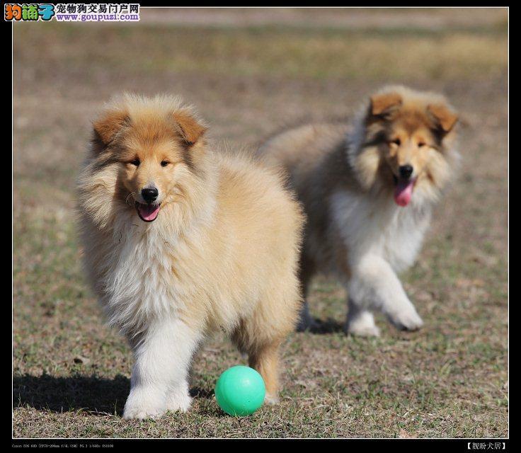 深圳苏格兰牧羊犬 出售纯种苏格兰牧羊犬 新浪总狗场