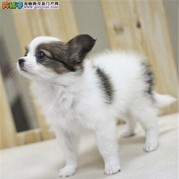 高端蝴蝶犬幼犬 公母均有多只选择 签订正规合同