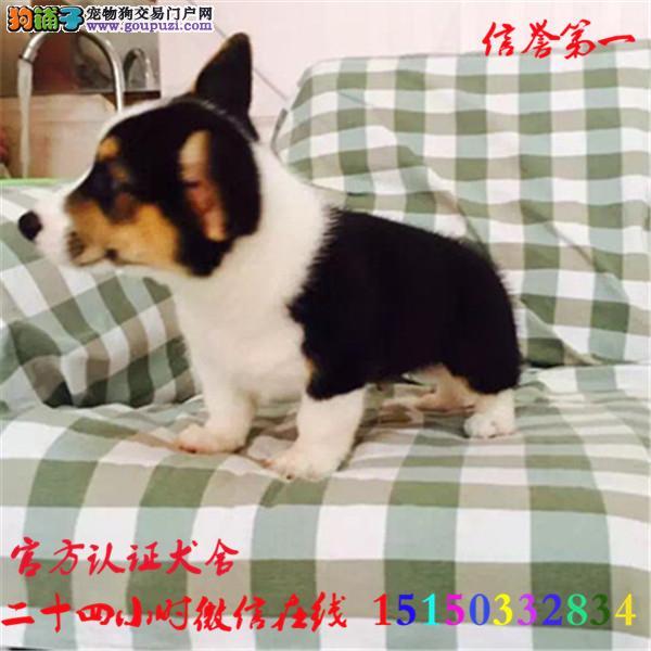 微信24小时在线服务15150332834 犬舍直销柯基