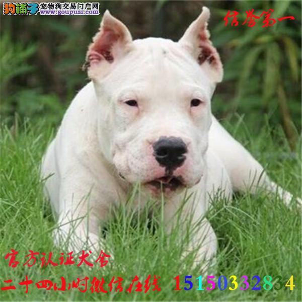 微信24小时在线服务15150332834 犬舍直销杜高