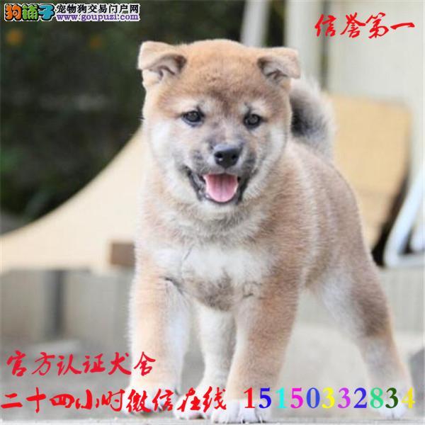 微信24小时在线服务15150332834 犬舍直销柴犬