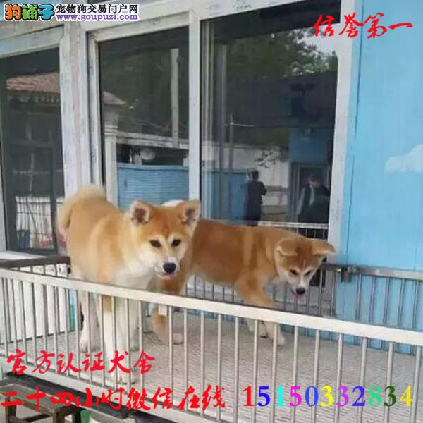 微信24小时在线服务15150332834 犬舍直销 秋田