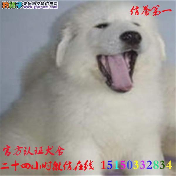 微信24小时在线服务15150332834 犬舍直销大白熊
