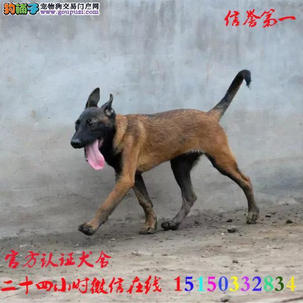 犬舍直销,马犬,牛头梗,秋田犬,萨摩耶