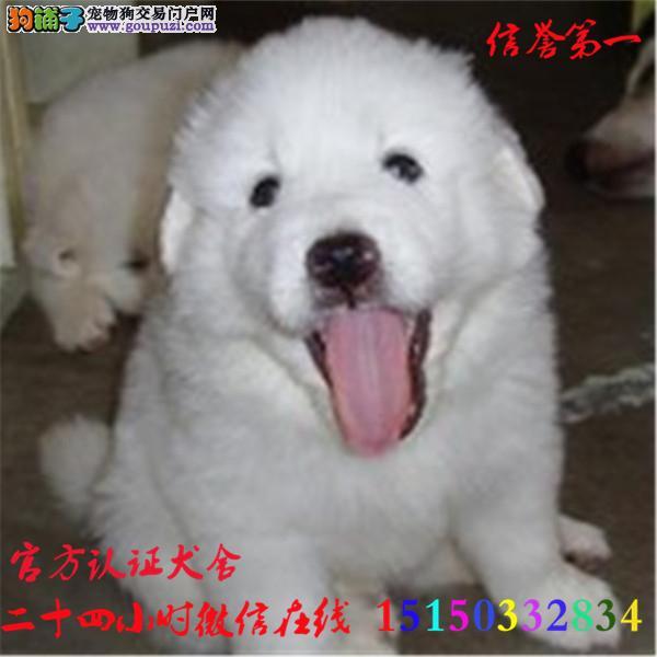 微信24小时在线服务15150332834 犬舍直销 大白熊