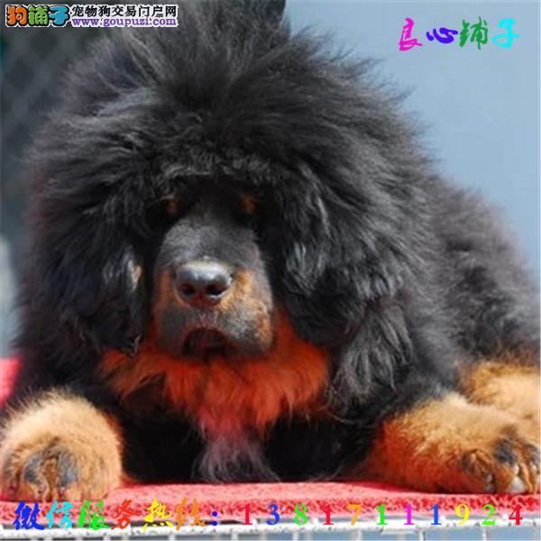 火爆出售,藏獒,大白熊,德牧,杜宾,杜高