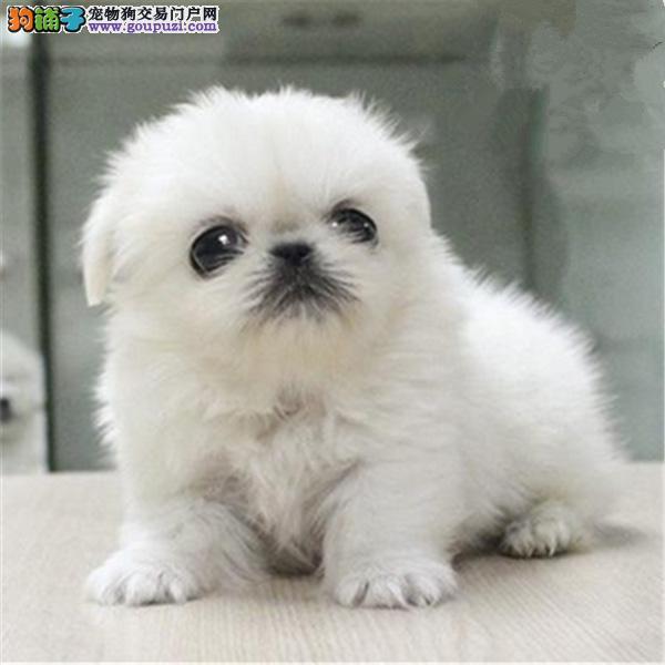 广州哪里有卖纯种京巴广东哪里有卖京巴犬