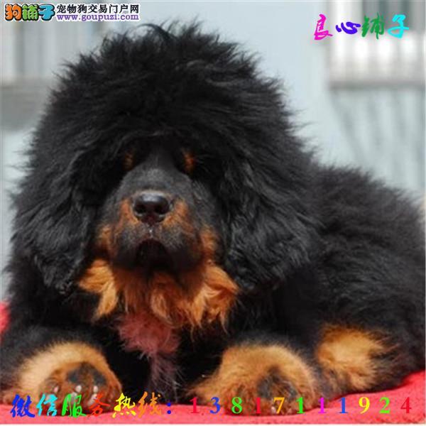 全天服务 微信13817111924视频看狗 犬舍直销藏獒