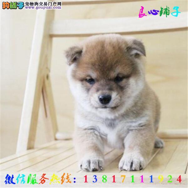 全天服务 微信13817111924视频看狗 犬舍直销柴犬