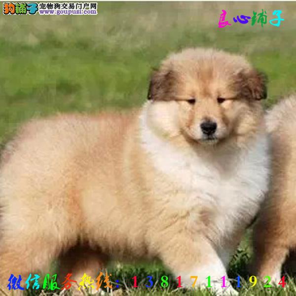 犬舍直销苏牧 全天服务 微信13817111924视频看狗