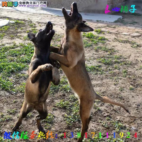 犬舍直销马犬 全天服务 微信13817111924视频看狗