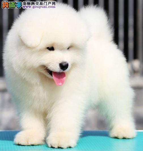 专业繁殖纯种赛级纯血统大白熊犬公母均有欢迎到场看狗