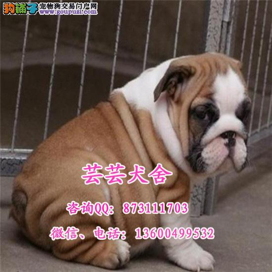 纯种英国斗牛犬幼犬出售 品相好 包纯种健康 芸芸犬舍