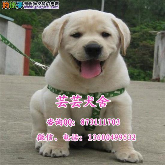 聪明温顺纯种拉布拉多犬 神犬小七 广东芸芸犬舍