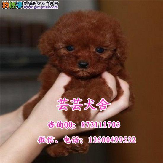 韩系茶杯犬 娃娃脸泰迪犬 口袋茶杯泰迪熊狗 超小体