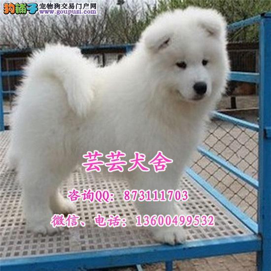 微笑白天使、萨摩耶幼犬、乖巧双眼皮、保健康纯种