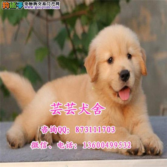 纯种的大头金毛幼犬、疫苗齐全、血统纯正、包健康