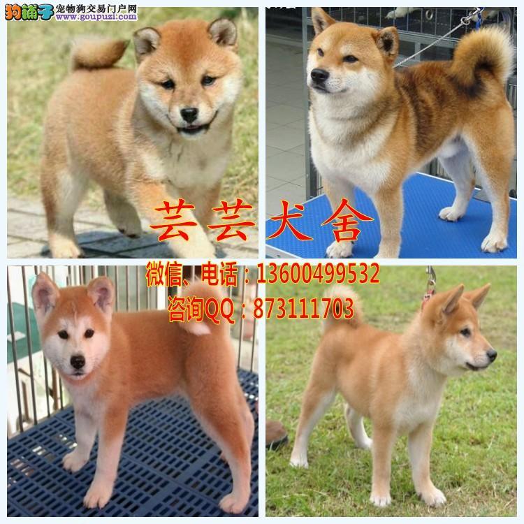 纯种柴犬 欢迎实地选购 完美售后 可签协议 芸芸犬舍