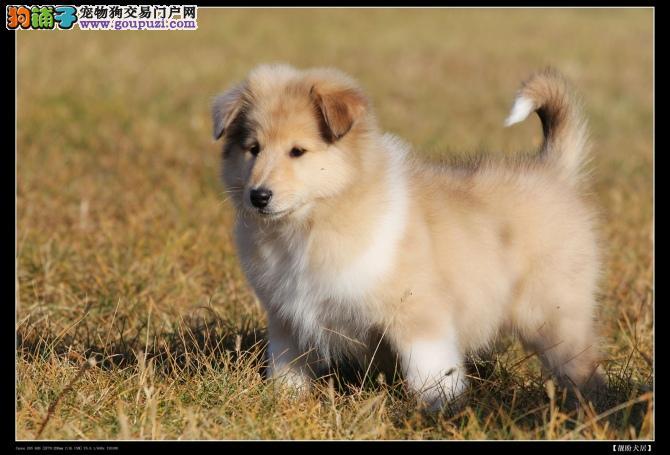 忠诚可爱的萌宠苏格兰牧羊犬 美丽大方善解人意