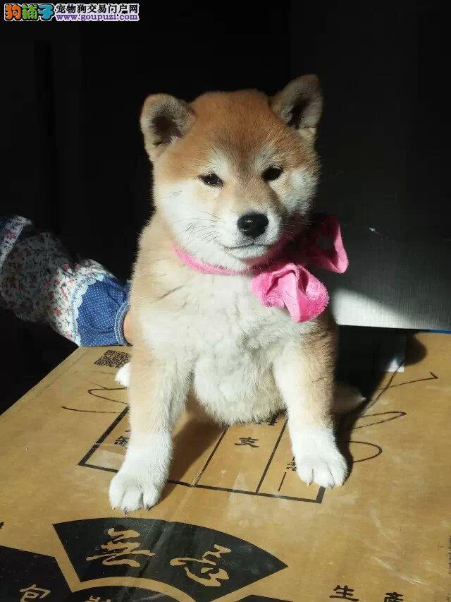 出售柴犬,公母都有,包纯种,有血统证,带芯片