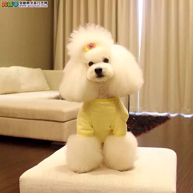 出售泰迪犬,公母都有,包纯种,有血统证,带芯片