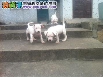高品质杜高犬带血统出售中 终身质保 可签协议