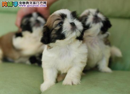 高品质西施犬带血统出售中 终身质保 可签协议