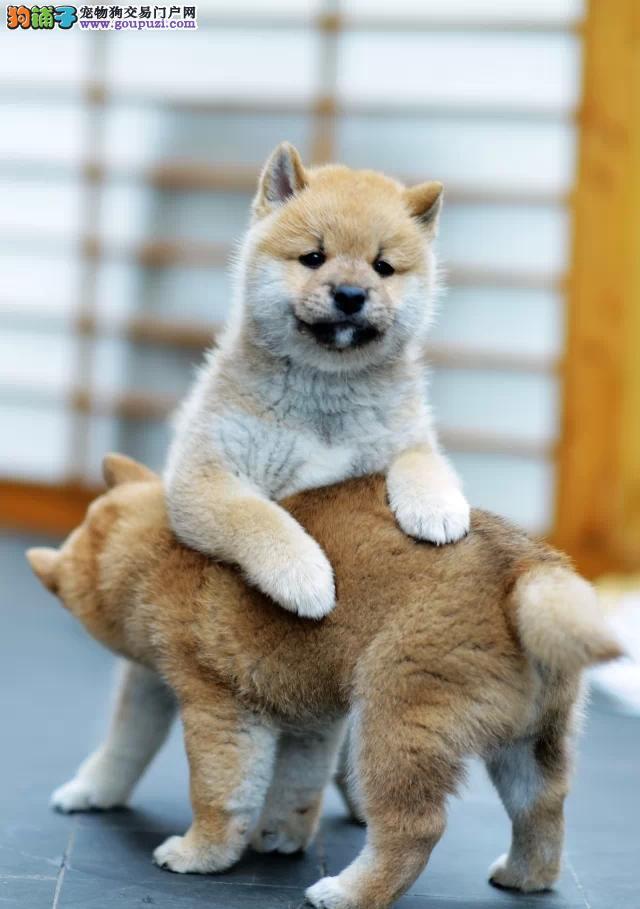 自家繁殖柴犬出售公母都有可签订活体销售协议