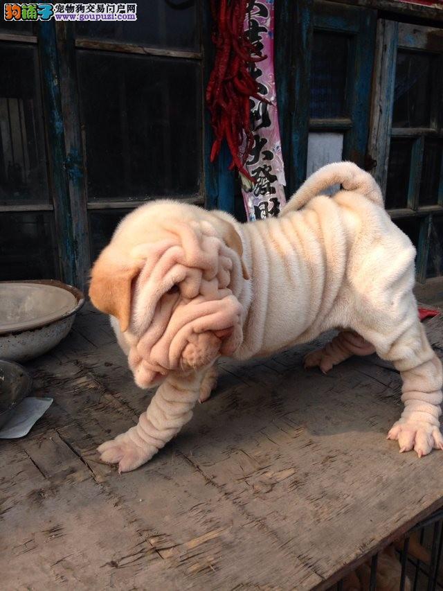 高品质沙皮狗带血统出售中 终身质保 可签协议