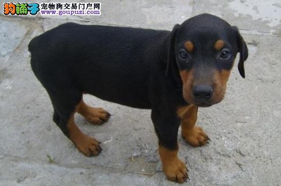 自家养殖纯种杜宾犬低价出售可直接视频挑选