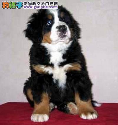 纯种伯恩山 ,正规繁殖基地,出售幼崽,可视频看狗