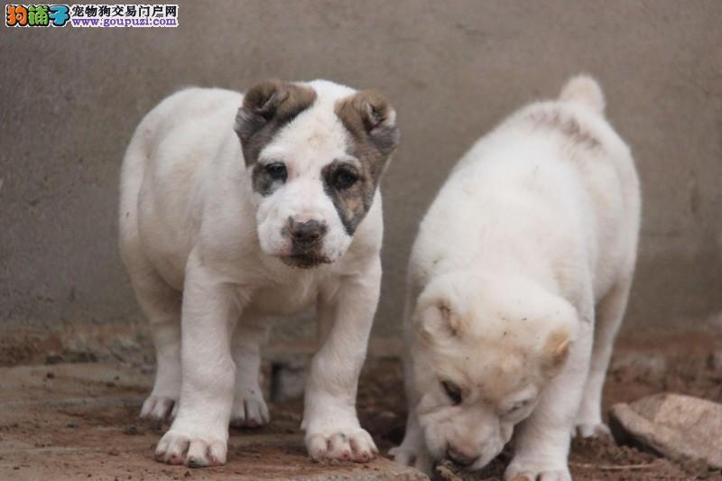 台州正规犬舍高品质中亚牧羊犬带证书价格美丽品质优良