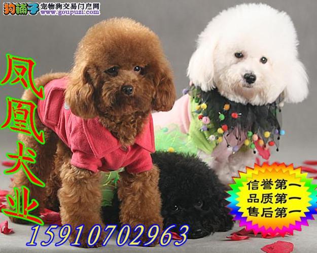 超级可爱的泰迪犬出售啦 快来抢购哦