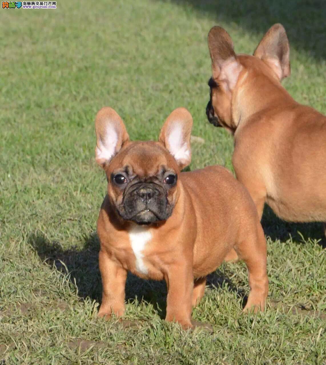 出售法国斗牛犬纯种保健康,可以空运