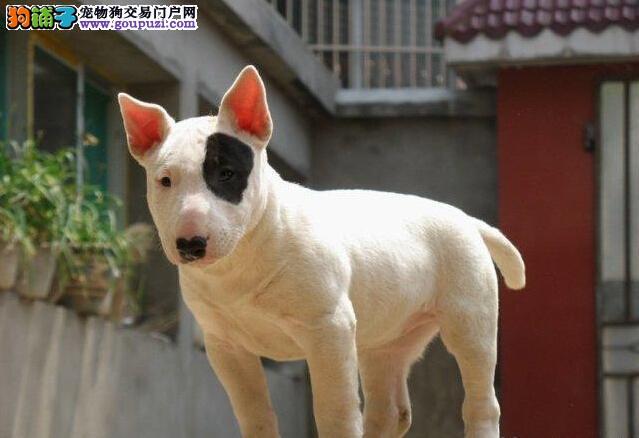 牛头梗幼犬热销中、真实照片保纯保质、购犬可签协议